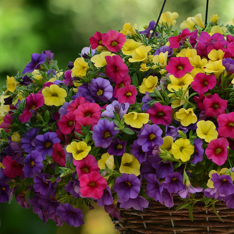 calibrachoa seeds for sale million bells annual flower seeds. Black Bedroom Furniture Sets. Home Design Ideas