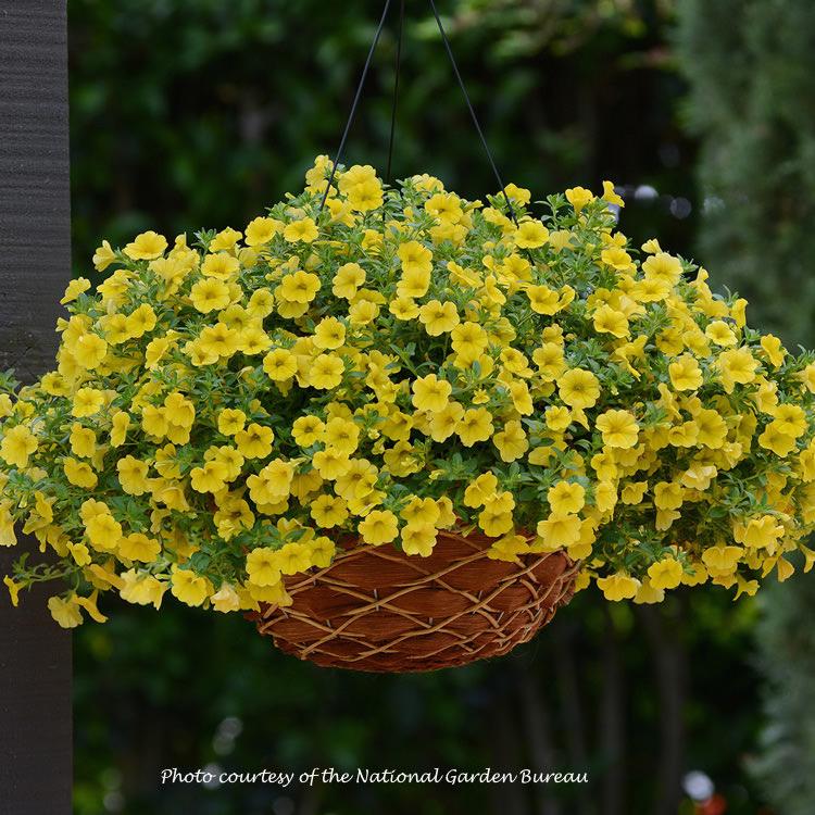 Calibrachoa Kabloom Yellow
