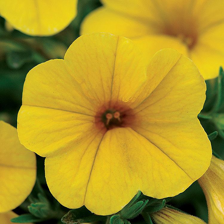 Kabloom Yellow Calibrachoa seeds