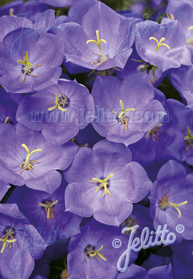 Blue Uniform Campanula carpatica - Perennial flowers