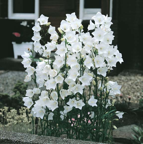 Campanula seeds 8 bellflowers perennial flower seeds campanula white bells peach leaf bellflower campanula persicifolia mightylinksfo