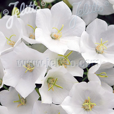 White Uniform campanula carpatica - perennial flowers