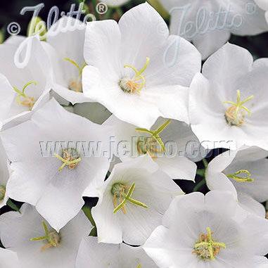 White Uniform campanula carpatica - perennial flowers