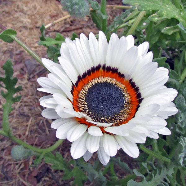 White Cape Daisy seeds