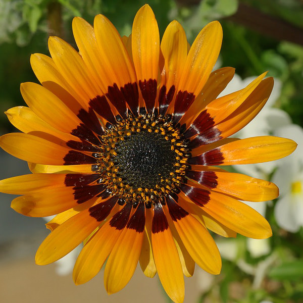 Orange cape daisy seeds