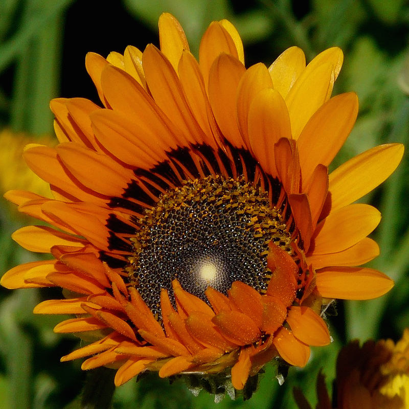 Cape daisy orange