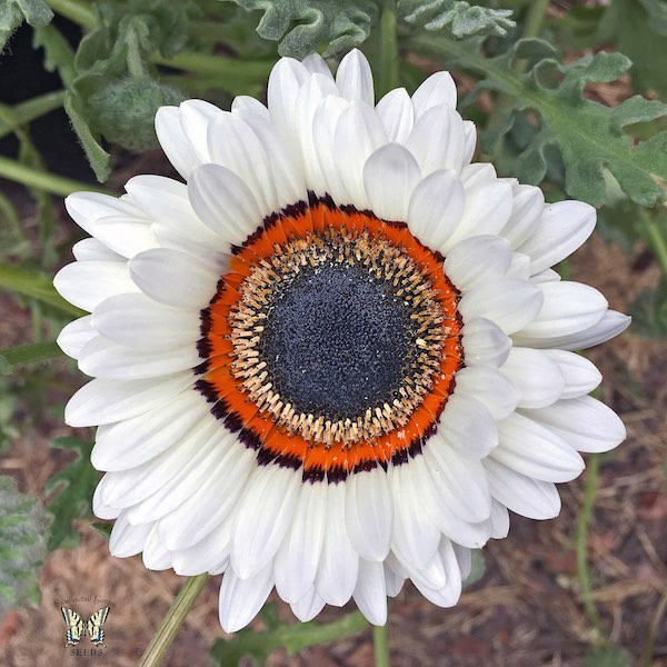 White Cape Daisy seeds
