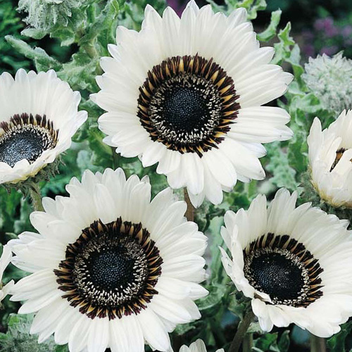 Cape Daisy Seeds White Cape Daisies Annual Flowers