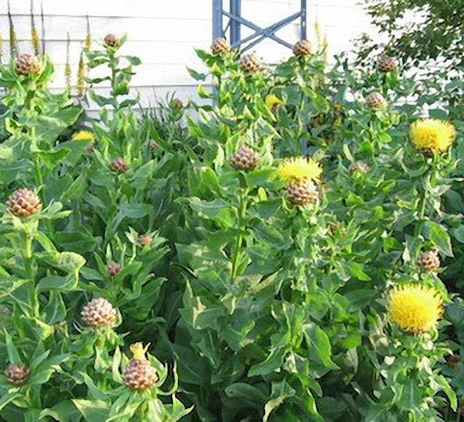 Armenian Basket Flower - Centaurea macrocephala