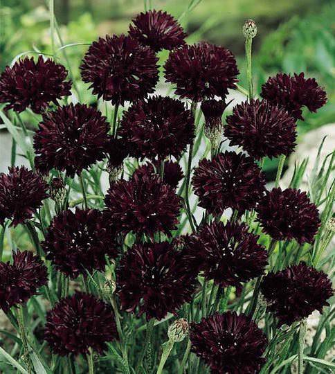 Black Ball bachelor's button seeds