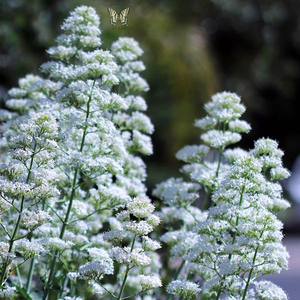 Jupiter's Beard Snow Cloud - Centranthus ruber