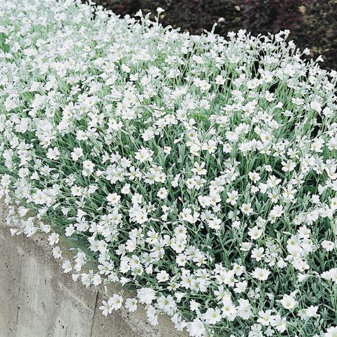 Snow in summer seeds ground cover seeds perennial flowers silver carpet snow in summer seeds cerastium tomentosum mightylinksfo