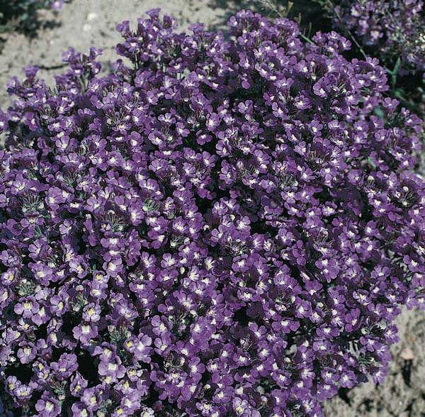 Chaenorhinum Blue Dreams - Chaenorhinum origanifolium