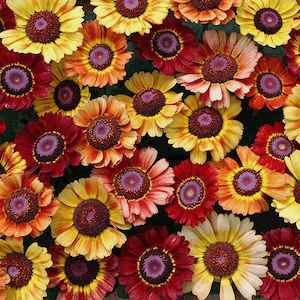 Sunset tricolor chrysanthemum seeds