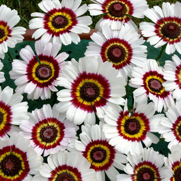 Bright Eye tricolor chrysanthemum seeds