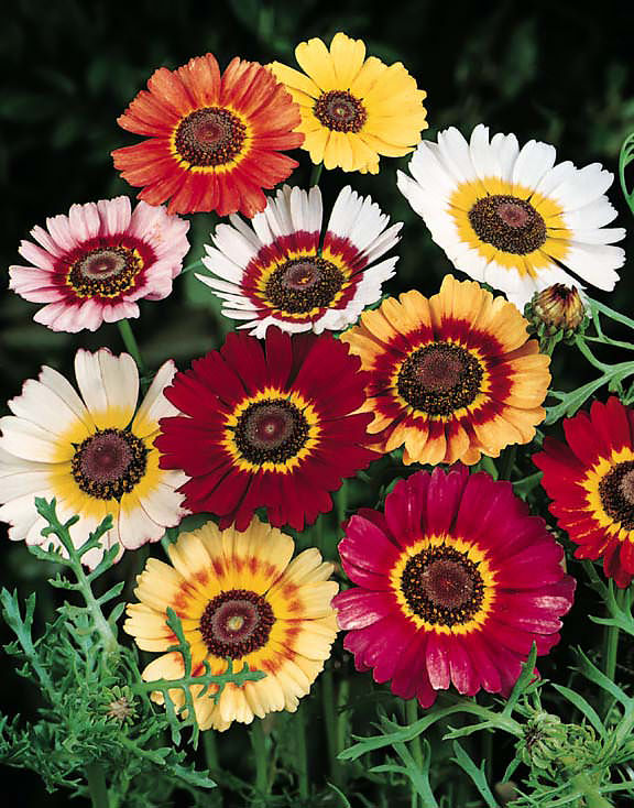 Tricolor Chrysanthemum carinatum Seeds | Annual Flower Seeds