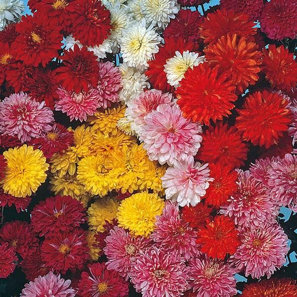 Chrysanthemum Fanfare - Chrysanthemum x koreanum