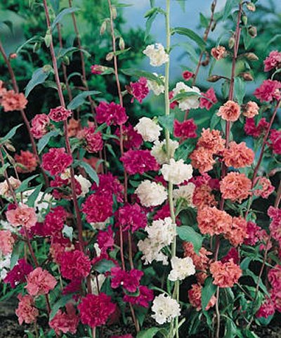Double Mixed clarkia seeds - Clarkia unguiculata