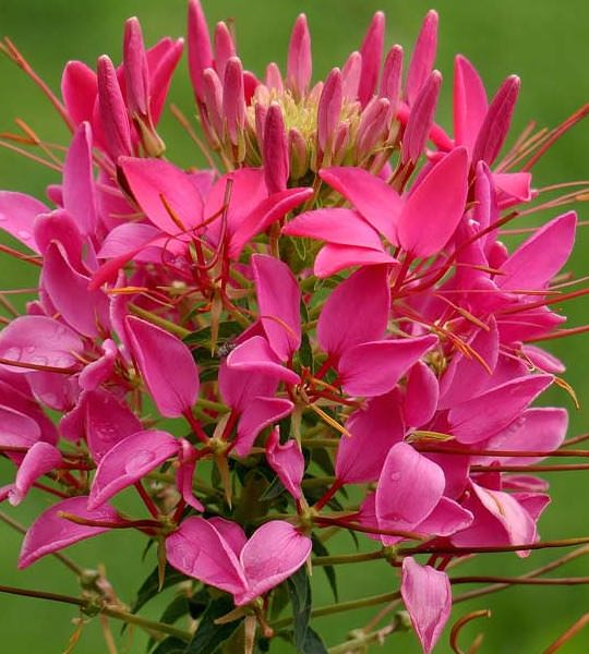 Brilliant cherry colored blossoms of Cherry Queen cleome - Annual Flower Seeds.
