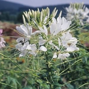 Cleome White Queen - Cleome hassleriana