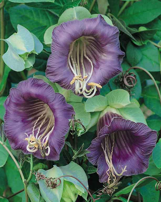 Cup and Saucer Vine - Cobaea scandens