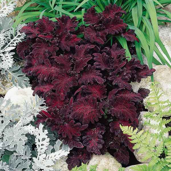 Black Dragon coleus growing with dusty miller