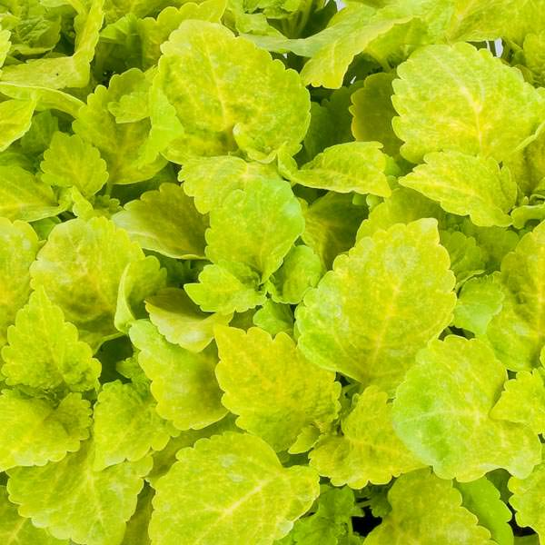 Fairway Yellow coleus