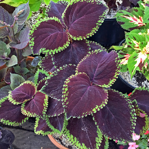Coleus Seeds 46 Varieties Annual Flower Seeds