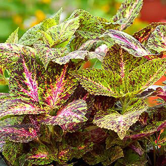 Giant Exhibition Marble coleus