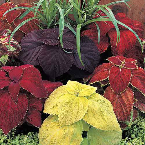 Giant Exhibition Mix coleus