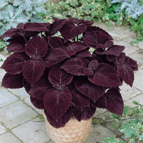Giant Exhibition Palisandra coleus with huge deep purple-black leaves.