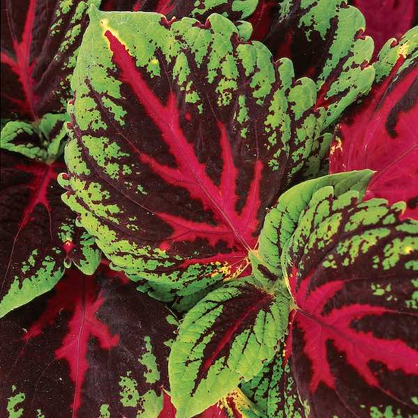 Coleus Kong Red leaves