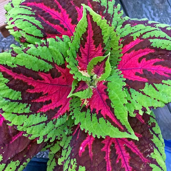 coleus seeds   varieties  annual flower seeds, Beautiful flower