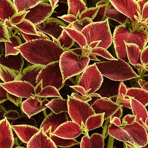 Coleus Premium Sun Crimson Gold