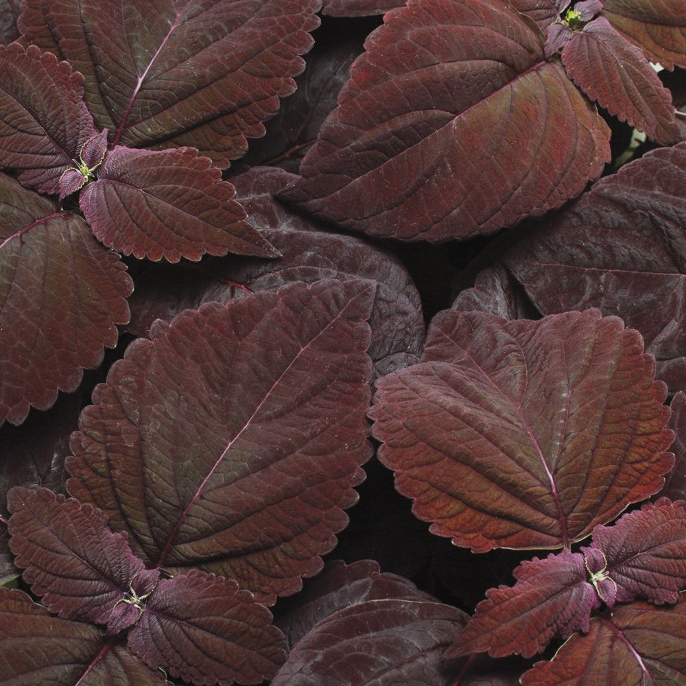 Coleus Premium Sun Dark Chocolate