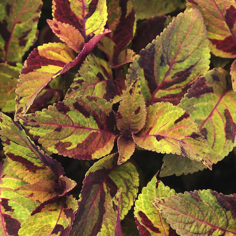 Coleus Premium Sun Mighty Mosaic leaves