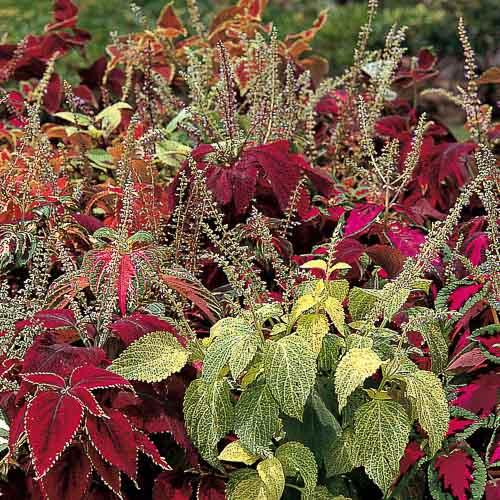 Vaughan's Rainbow Mix coleus - Uniform, colorful, 15 in. tall garden annuals