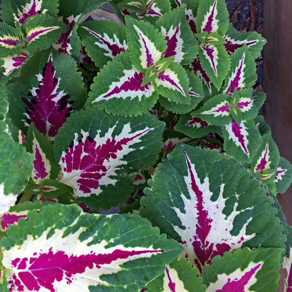 Wizard Rose coleus growing in container