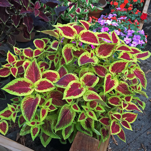 how to grow coleus from seed