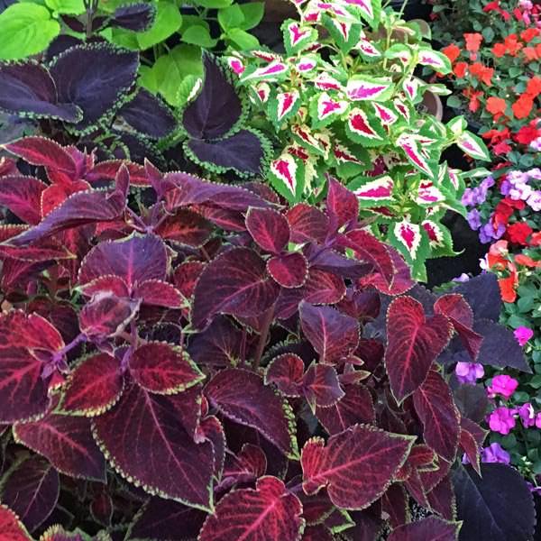 Wizard Velvet Red coleus plant
