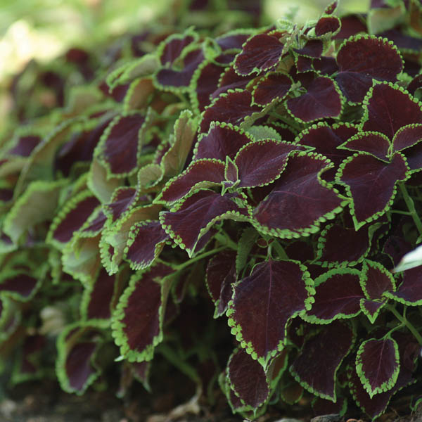 Coleus Premium Sun Chocolate Mint