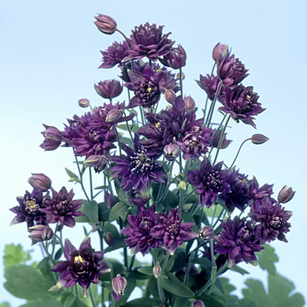 Columbine Clementine Dark Purple - Aquilegia vulgaris