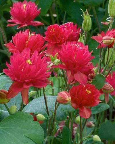 Columbine Clementine Red - Aquilegia vulgaris