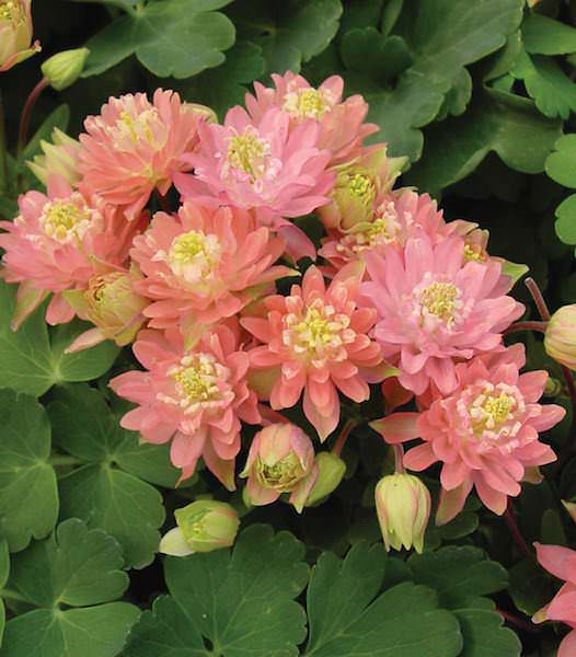 columbine seeds   columbines  perennial flower seeds, Natural flower