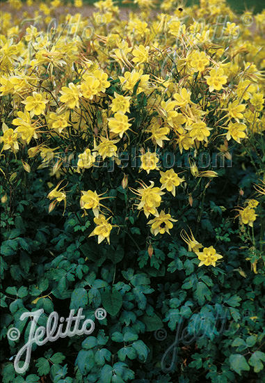 Denver Gold Columbine seeds