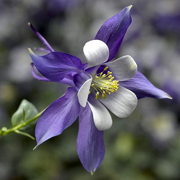 Columbine Kirigami Deep Blue and White - Aquilegia caerulea