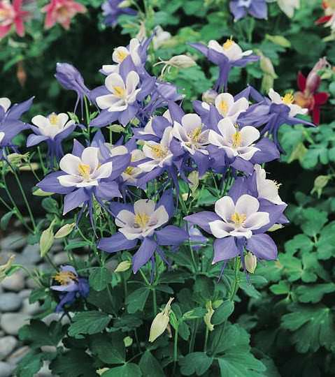 Columbine Origami Blue and White - Aquilegia x hybrida