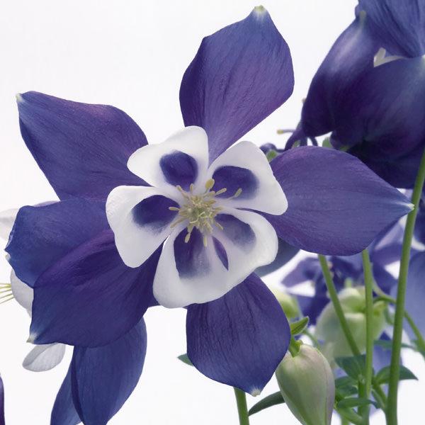 Columbine Spring Magic Blue and White - Aquilegia x hybrida