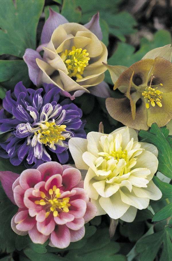 Columbine Sweet Rainbows
