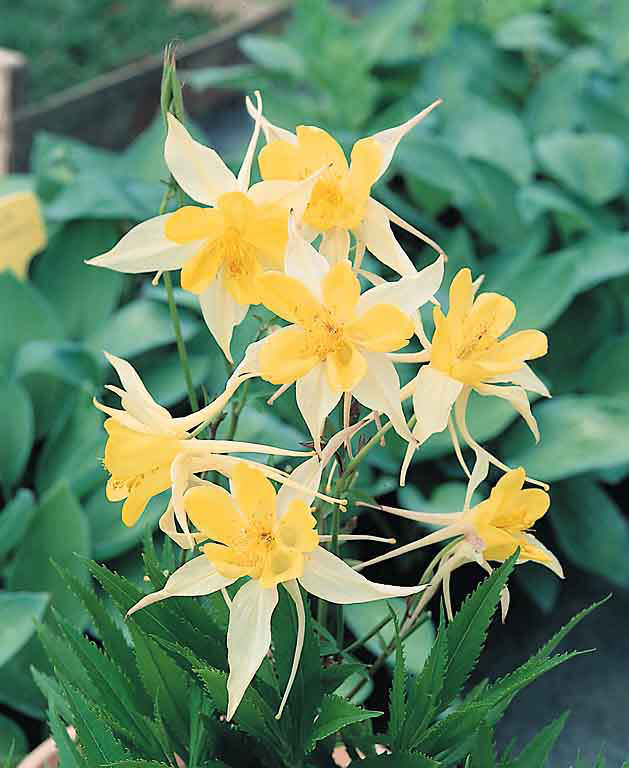 Columbine Yellow Star - Aquilegia x caerulea
